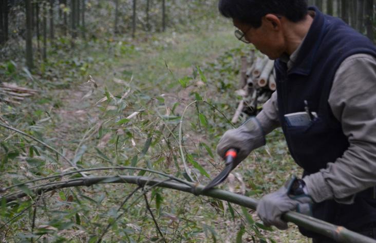 todd hagino 151123 bamboo picking up at ishida Farm - 6673