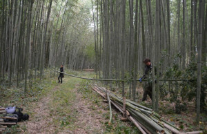 Todd and Hagino 15:11:23 bamboo picking up at ishida Farm